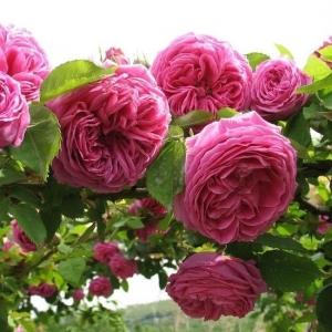 Роза Мадам Исаак Перрье