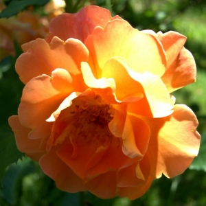 Роза Вестерланд
