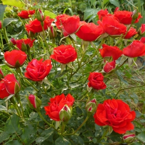 Роза Скарлет Мейдиланд