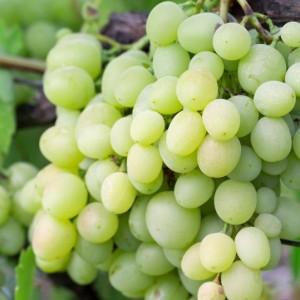 Виноград КишМиш Кеша