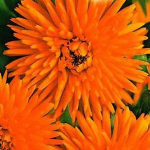 Календула Оранжевые лучи