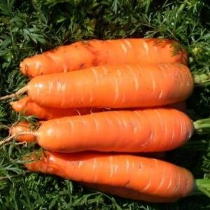Морковь Нантская 4 столовая