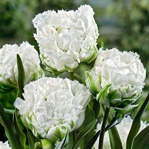Тюльпан Сноу Кристалл