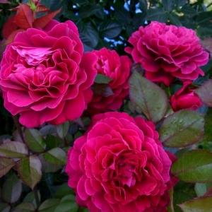Роза Беллевью