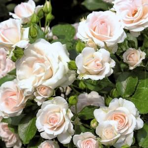 Роза Аспирин Роуз