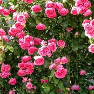 Роза Пинк Клауд