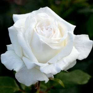 Роза Поларстерн