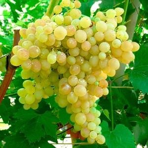 Виноград Кишмиш № 342, двухлетний