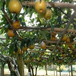 Яблоко-груша Нэши
