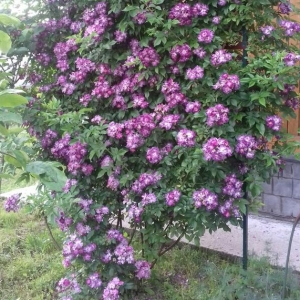 Роза Вейченблау