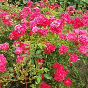 Роза Хейдетраум
