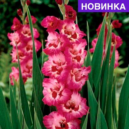 Падуб Конвекса