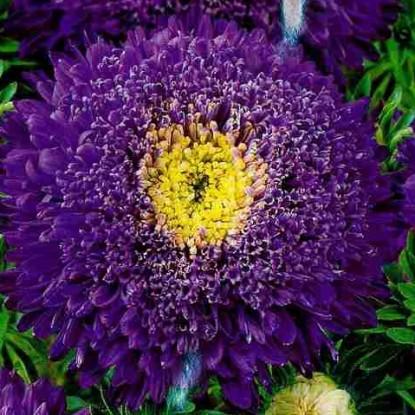Астра Букет фиолетовый
