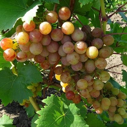 Виноград Новоукраинский Ранний