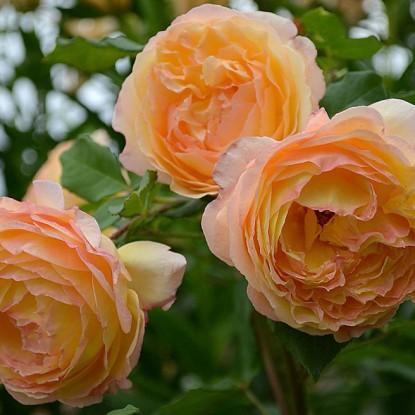 Роза Велл Биинг