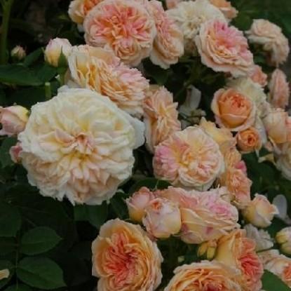 Роза Глуар де Дижон HISTORICAL