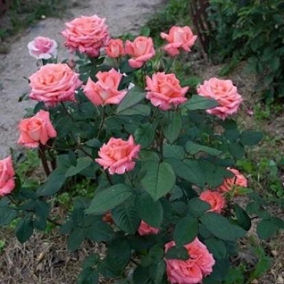Роза Фольклёр BARNI
