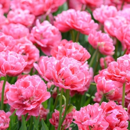 Тюльпан Авейрон