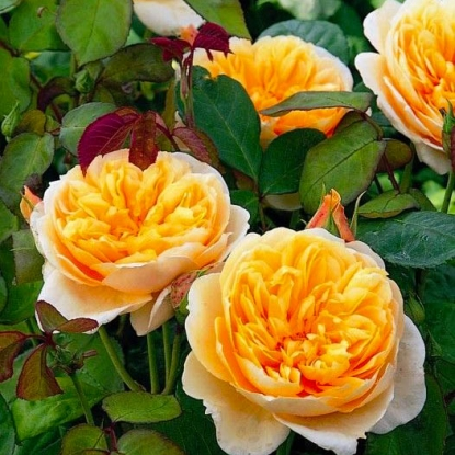 Роза Джейн Остин
