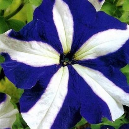 Петуния Хиросис синяя с белым крупноцв.