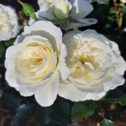 Роза Баунти TANTAU