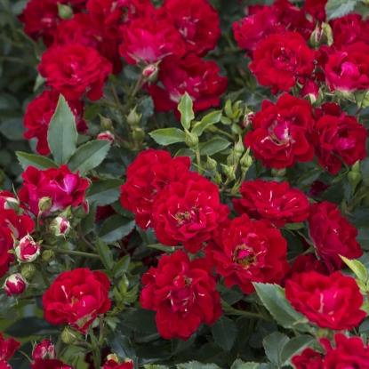 Роза Ред Дрифт