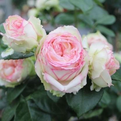 Роза Бидермейер TANTAU