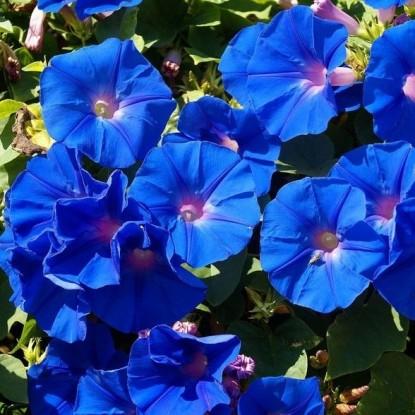Ипомея Небесно-голубая (серия Лавандовые грёзы)