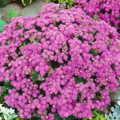 Агератум Розовый шар (сер. Сад ароматов)
