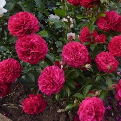 Роза Бордо KORDES