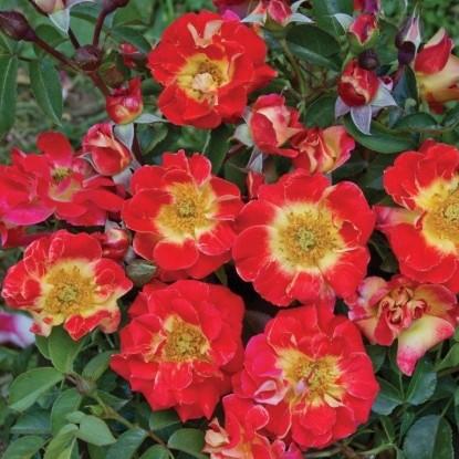 Роза ЭОС BARNI (2 сорт)