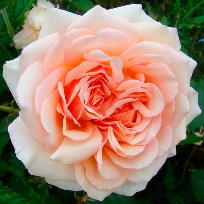 Роза Таити