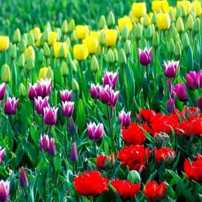 Тюльпаны, смесь 15 шт