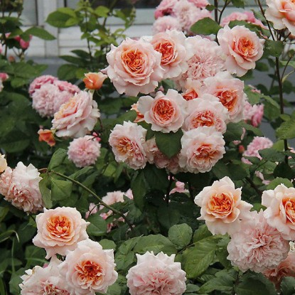 Роза Версайни штамбовая