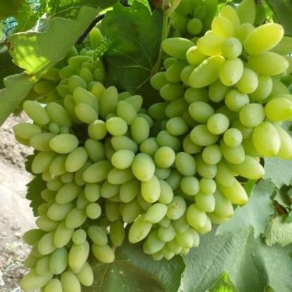 Виноград Тимур