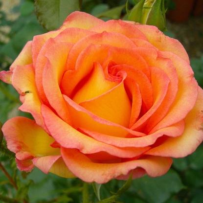 Роза Роуз де Мон Марсан штамбовая