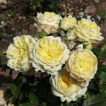 Роза Кронпринцесс Мэри POULSEN С2
