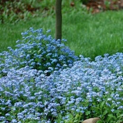 Незабудка Синяя чашка (сер. Лавандовые грезы)
