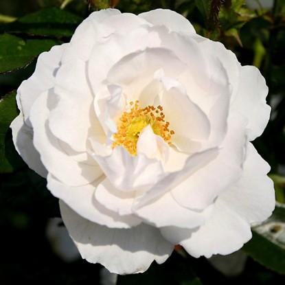 Роза Хелла