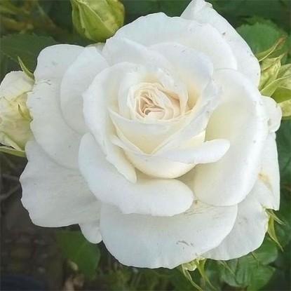 Роза Аннапурна С2