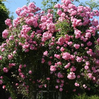 Роза Гертруда Джекилл штамбовая