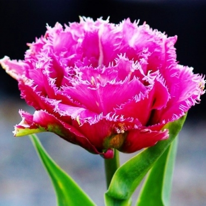 Тюльпан Маскотте