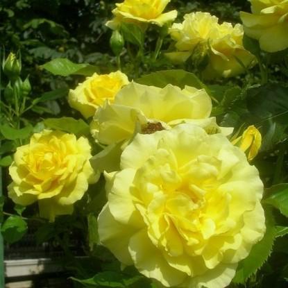 Роза Оллголд LeGrice