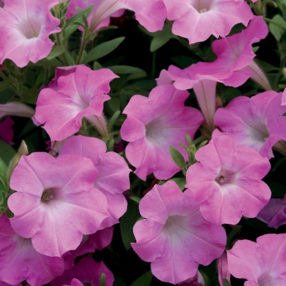 Петуния Розовый жемчуг F1 крупноцв. гранул. (серия Розовые сны)