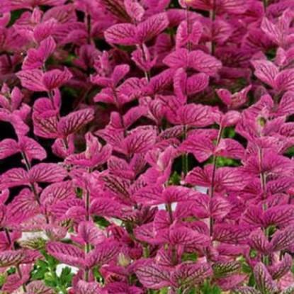 Сальвия Розовый монарх хорминум (серия Розовые сны)