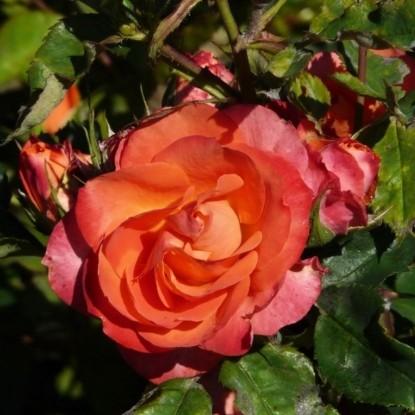 Роза Революсьон BARNI