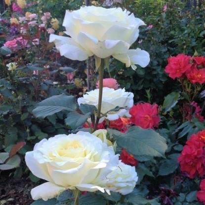 Роза Ирина TANTAU