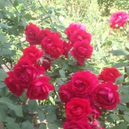 Роза Загадка (Плетистая, красная)