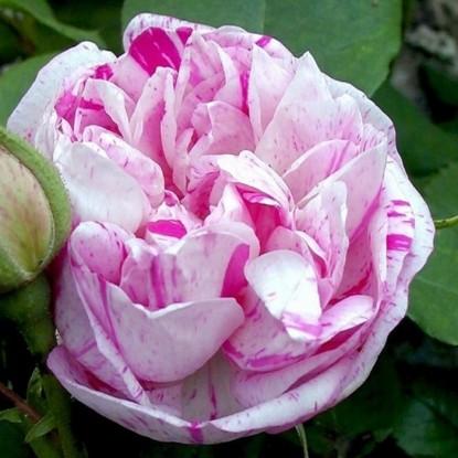 Роза Онорин де Брабан HISTORICAL С2