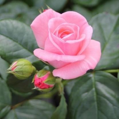 Роза Элиза BARNI